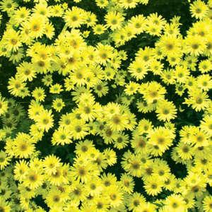 alba jaune