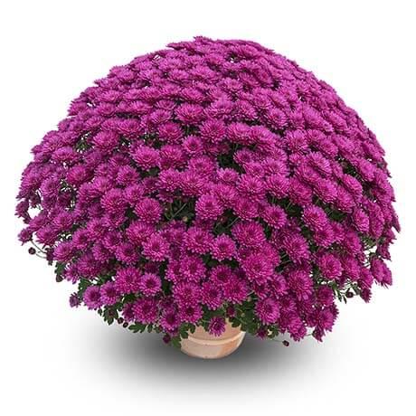 atol violet