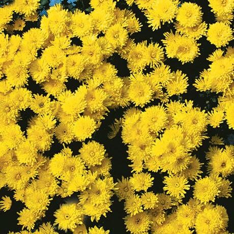 berruyere jaune