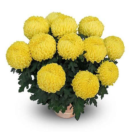 bouldor jaune