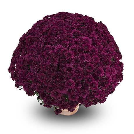 cassy violet