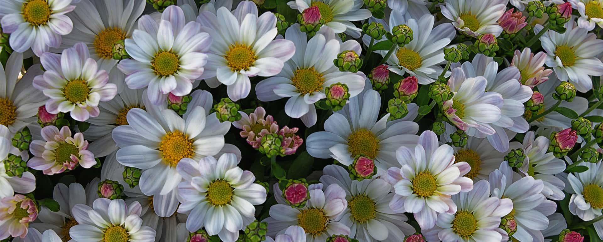 Chrysanthèmes Bernard