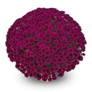 conti violet