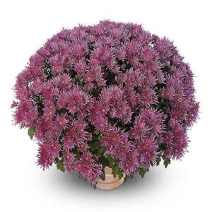 corto violet