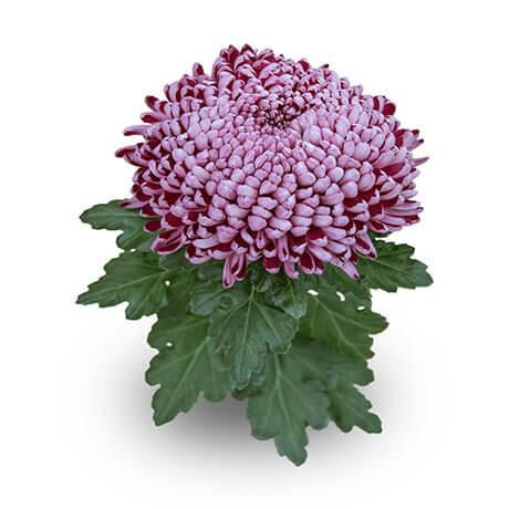 cyrano violet gf dirigée