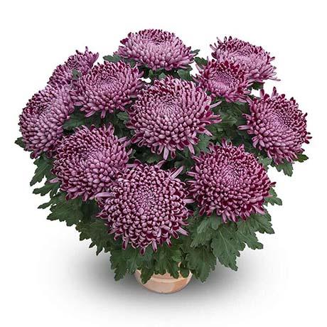 cyrano violet