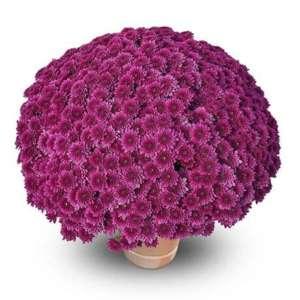 diva violet