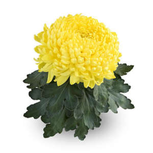 Grosses fleurs dirigées