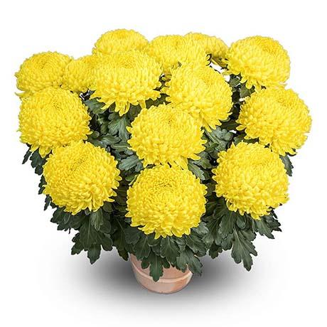 floridis jaune