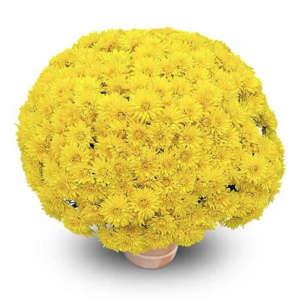 goldor jaune