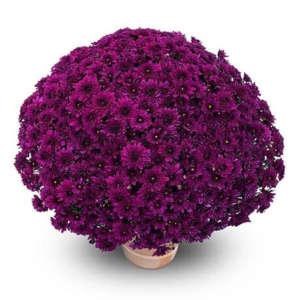 korus violet