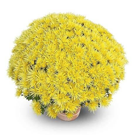 luxor jaune