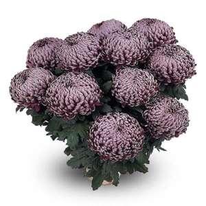 malabar violet