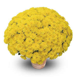 mila jaune