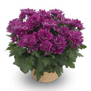 mount aubisque purple