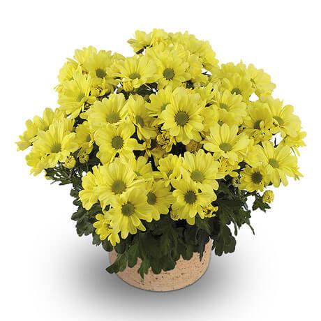 mount runca yellow