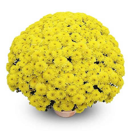 musi jaune