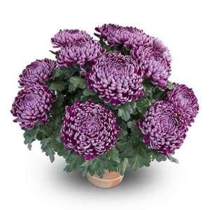 nevada violet