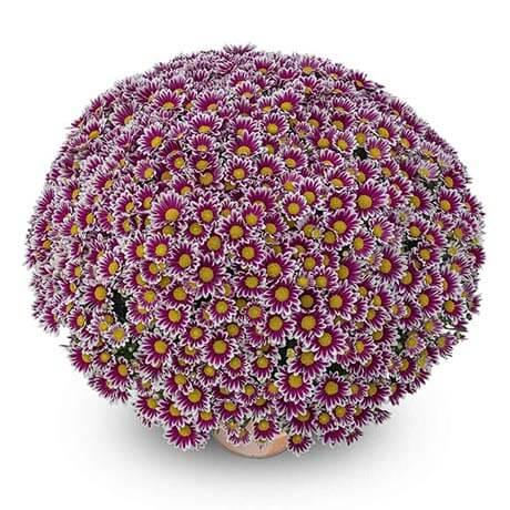 newton violet