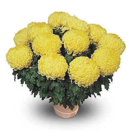 polojo jaune