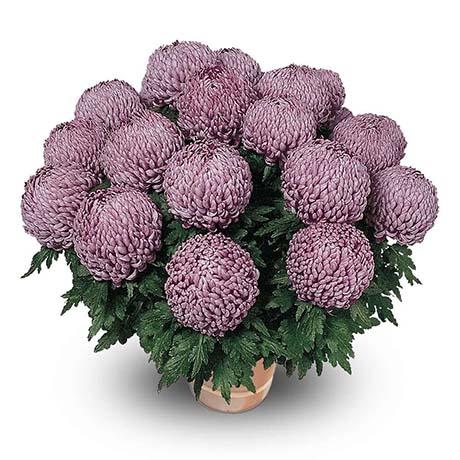précieux violet