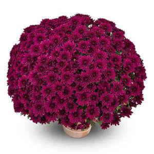 sultan violet