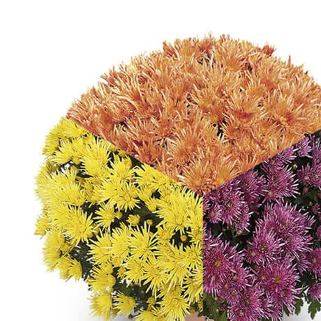 trio corto orange jaune violet