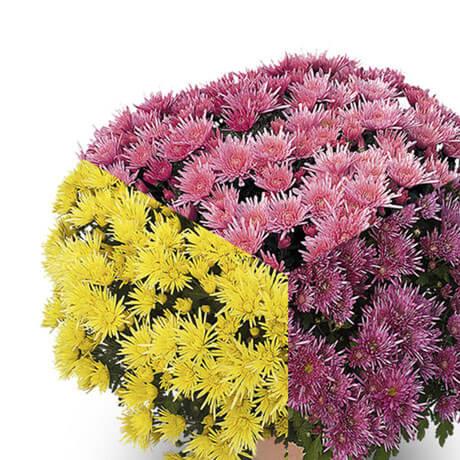 trio corto jaune violet rose