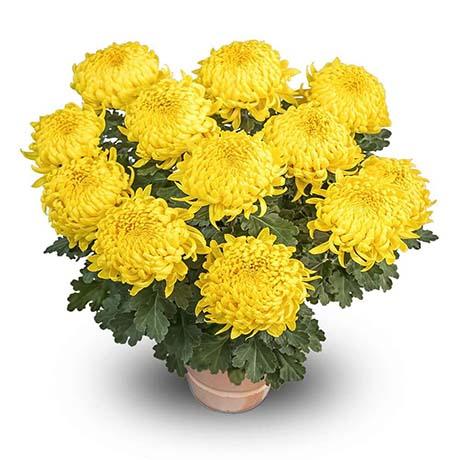 walaby jaune