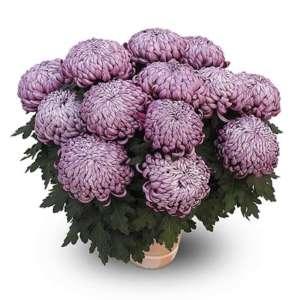 zebulon violet