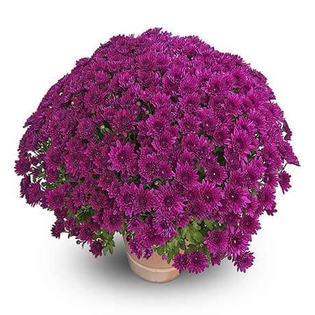 zelda violet