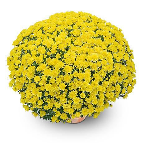 diva jaune